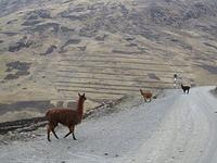 Alpaca on the road to Cusco