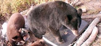 Bears vs. Seismic Stations